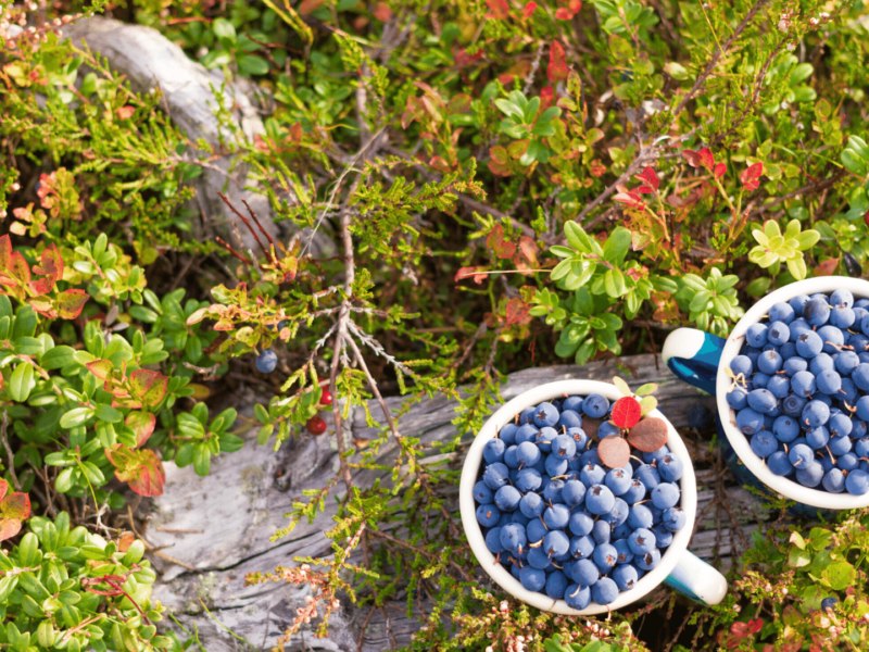 Two mugs filled with blueberries sitting on the forest floor